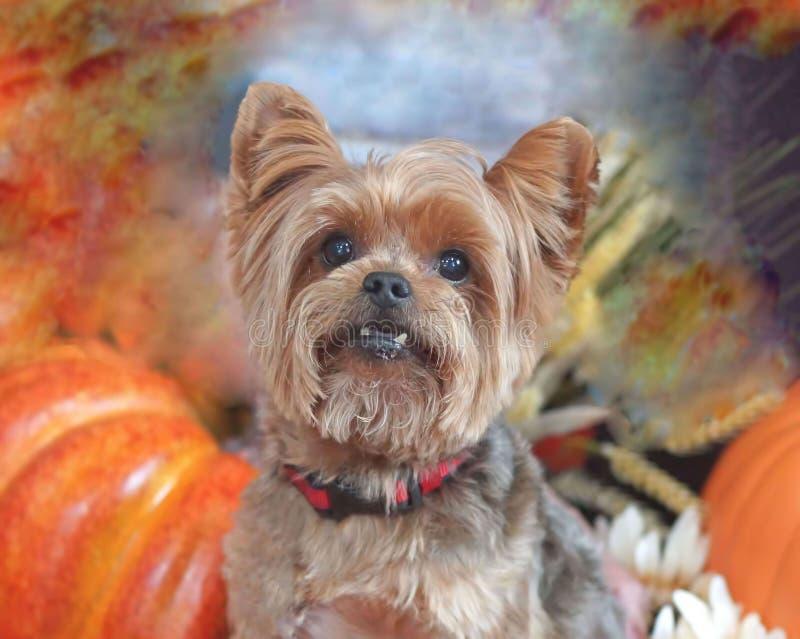 Um retrato da queda de um yorkshire terrier imagens de stock