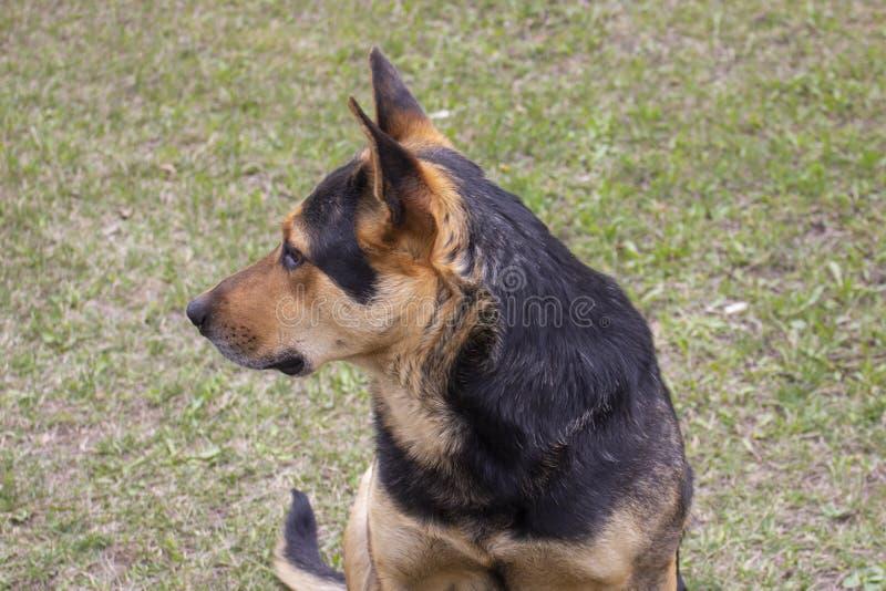 Um retrato de um cão está olhando ao lado O cão é cor vermelha preta olha como um pastor imagem de stock royalty free