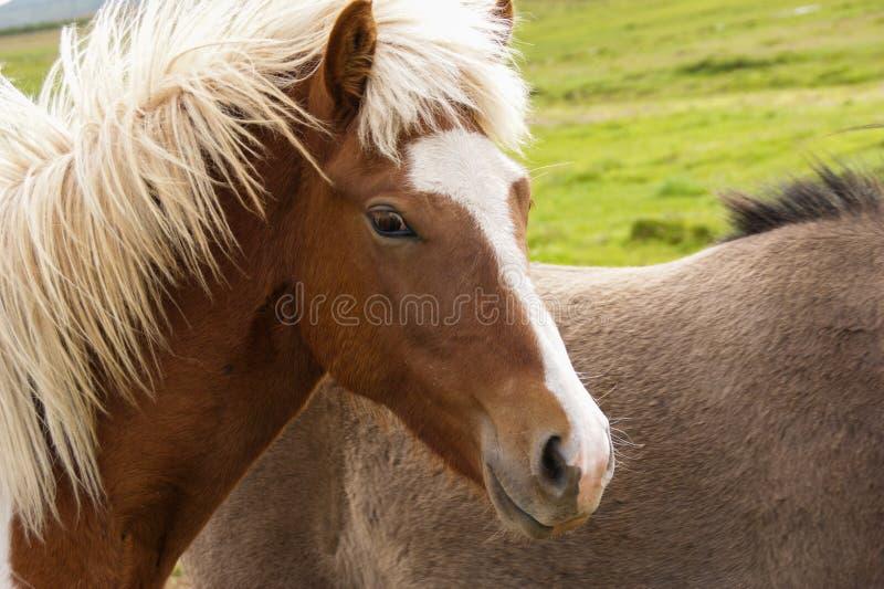 Um retrato de um cavalo islandês bonito no campo em Islândia do norte fotografia de stock royalty free