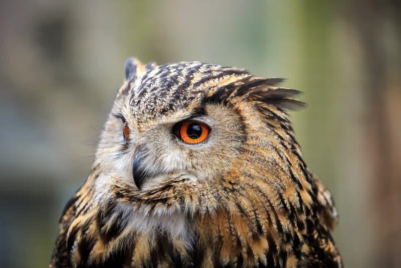 Um retrato de Eagle Owl euro-asiático fotografia de stock