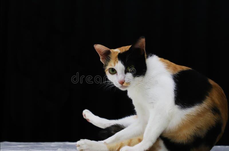Um retrato de um gato fêmea foto de stock royalty free
