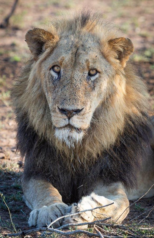Um retrato de um leão masculino velho fotografia de stock