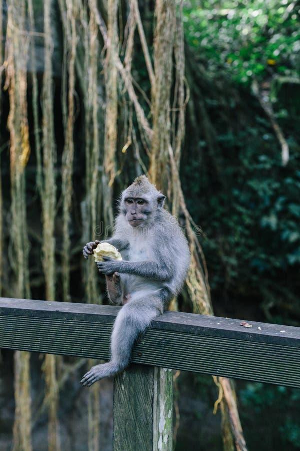 Um retrato de um macaco comer no santuário sagrado da floresta do macaco em Ubud, Bali, Indonésia imagem de stock royalty free
