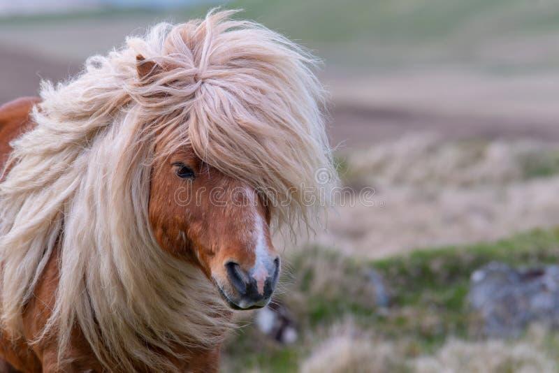 Um retrato de um pônei de Shetland solitário em um Scottish amarra imagens de stock