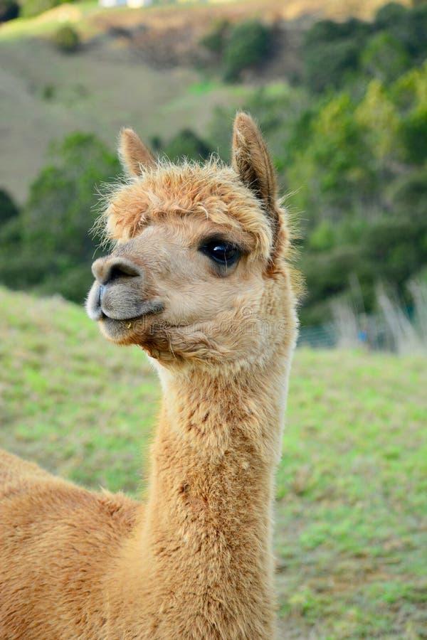 Um retrato de pacos de um Vicugna da alpaca, levantando para a foto Esta é uma espécie de sul - camelid americano fotos de stock