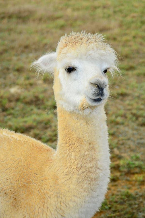 Um retrato de pacos de um Vicugna da alpaca, levantando para a foto Esta ? uma esp?cie de sul - camelid americano foto de stock royalty free