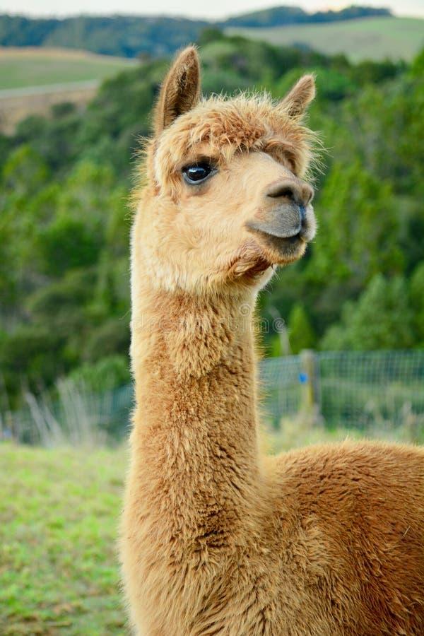Um retrato de pacos de um Vicugna da alpaca, levantando para a foto Esta ? uma esp?cie de sul - camelid americano imagens de stock royalty free
