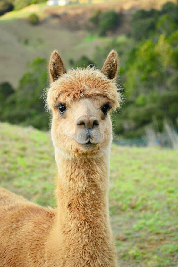 Um retrato de pacos de um Vicugna da alpaca, levantando para a foto Esta ? uma esp?cie de sul - camelid americano fotos de stock