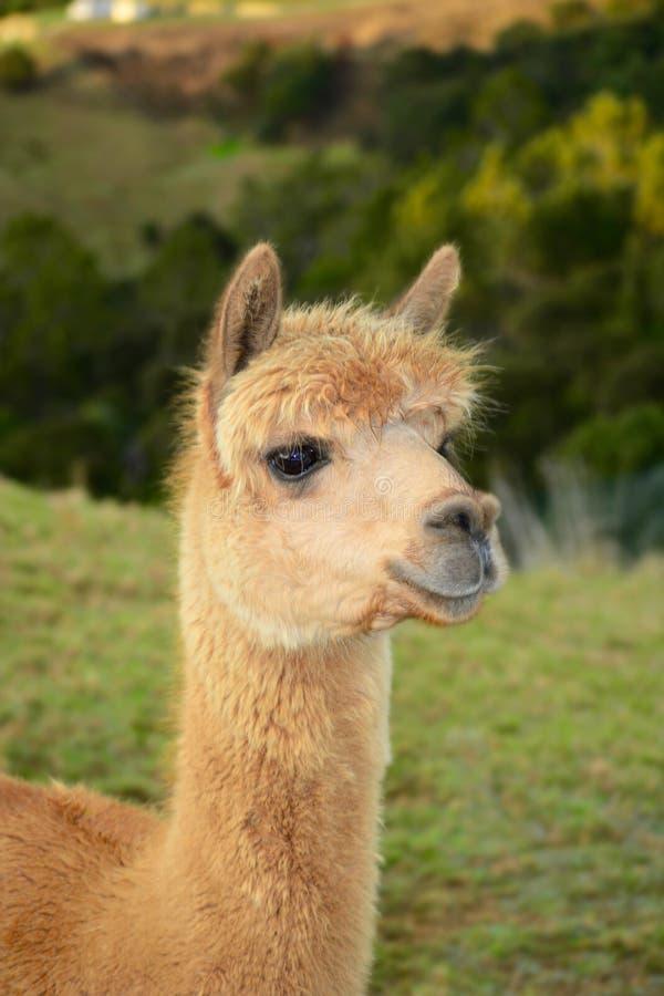 Um retrato de pacos de um Vicugna da alpaca, levantando para a foto Esta ? uma esp?cie de sul - camelid americano fotos de stock royalty free