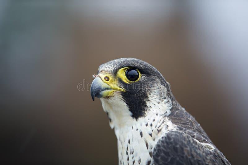 Um retrato de um peregrinus fêmea de Falco do falcão de peregrino travado em Alemanha para soar foto de stock