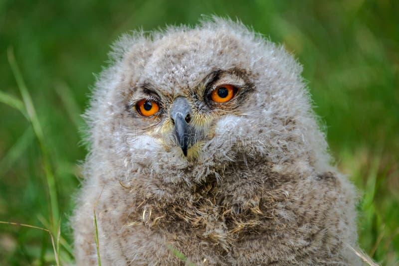 Um retrato de um pintainho de Eagle Owl que olha uma oferta sonolento foto de stock