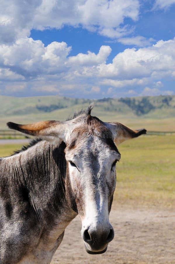 Download Retrato De Um Burro Cinzento Imagem de Stock - Imagem de dakota, cute: 29829339