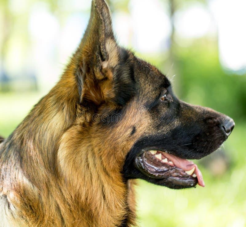 Um retrato de um cão do puro-sangue na natureza fotografia de stock royalty free