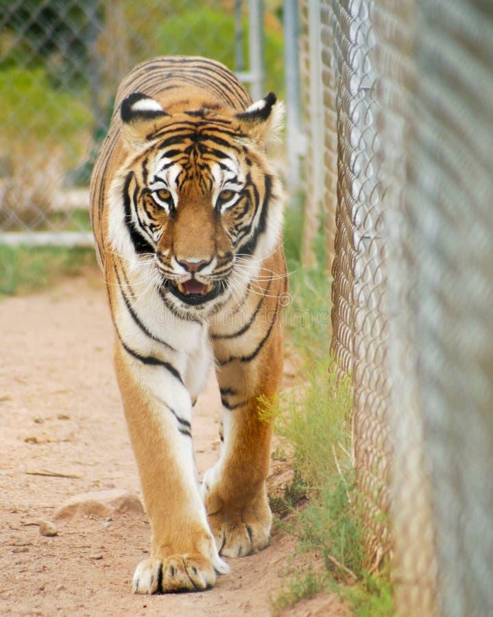 Um retrato de um tigre de Bengal em uma gaiola do jardim zoológico foto de stock