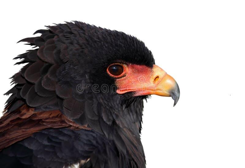 Águia africana fotografia de stock