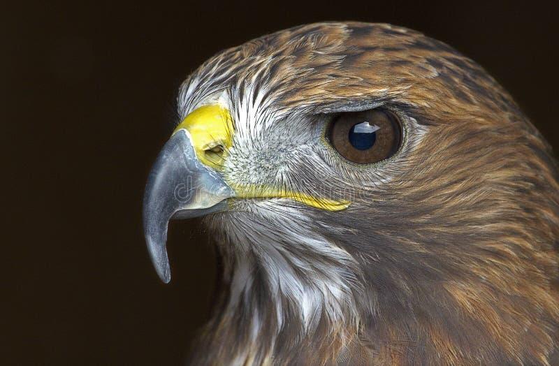 Um retrato de uma águia dourada foto de stock royalty free