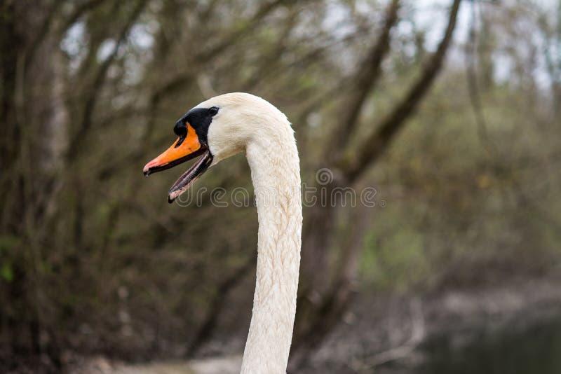 Um retrato de uma cisne muda nos pantanais do rio rhine fotografia de stock