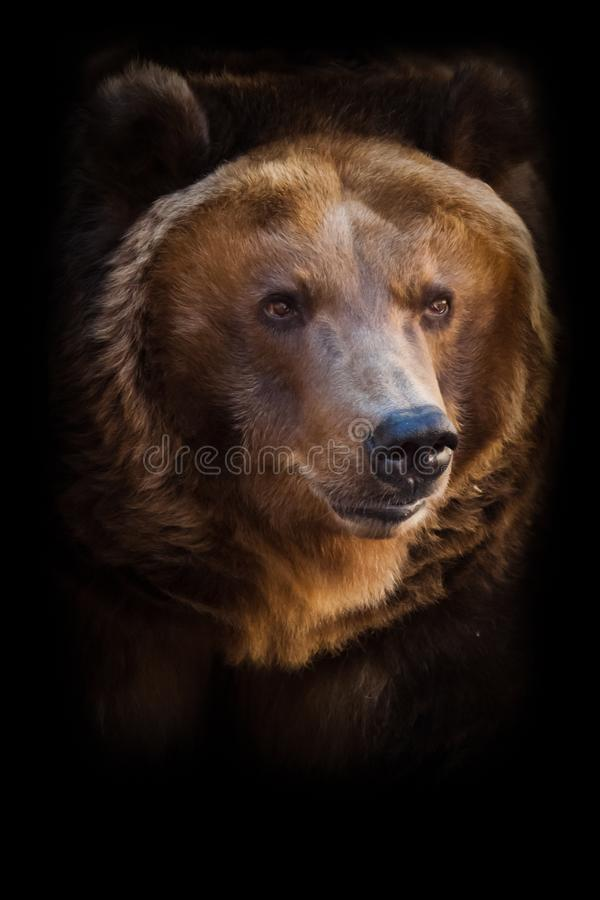 Um retrato de um urso enorme no quadro inteiro, o animal ? enorme e iluminado pelo sol Urso marrom poderoso enorme foto de stock royalty free