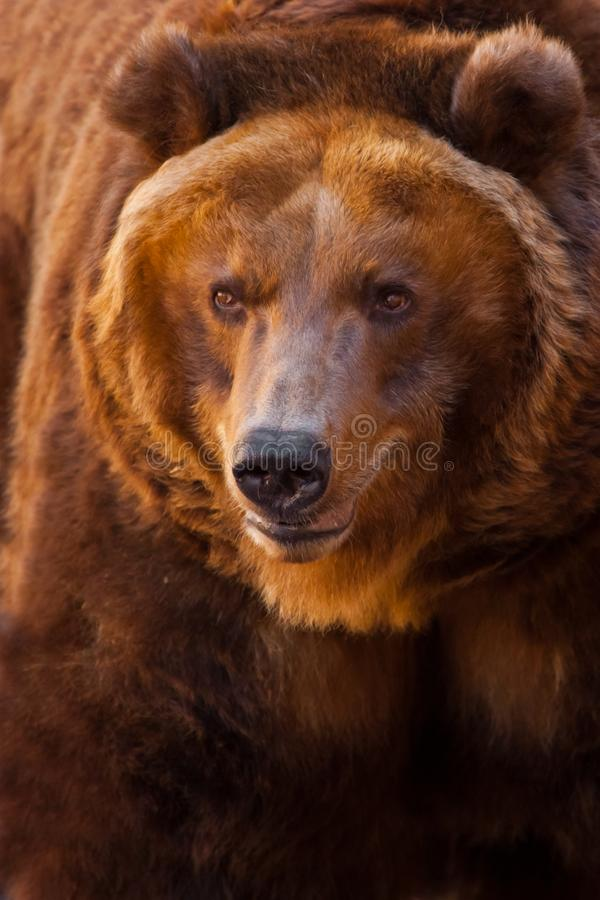 Um retrato de um urso enorme no quadro inteiro, o animal ? enorme e iluminado pelo sol Urso marrom poderoso enorme fotografia de stock royalty free