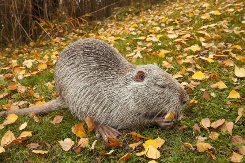 Um retrato do grande muskrat bonito do rato de água Mantém uma parte de maçã em suas patas e come-a foto de stock