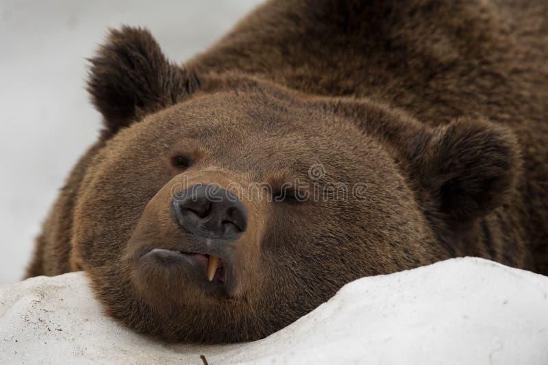 Um retrato do urso do marrom do urso preto na neve ao olhá-lo fotografia de stock
