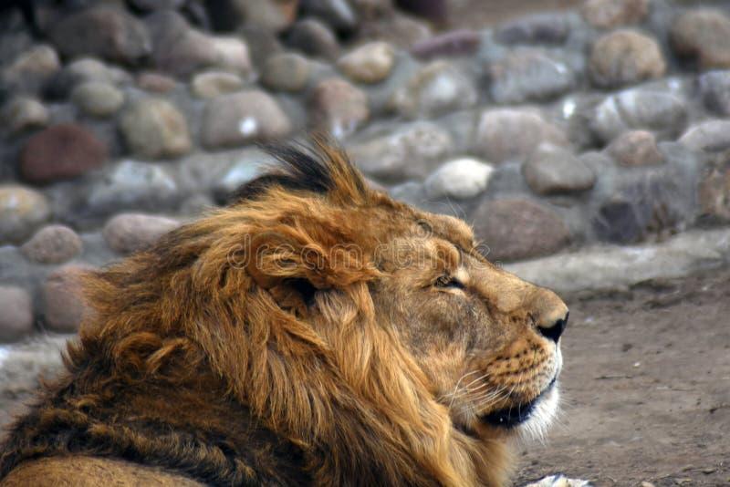 Um retrato masculino do leão, o animal coloca nas pedras imagem de stock