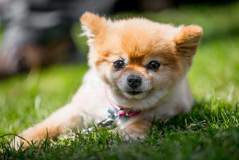 Um retrato pomeranian do cachorrinho que encontra-se em um monte da grama em um ângulo imagem de stock royalty free