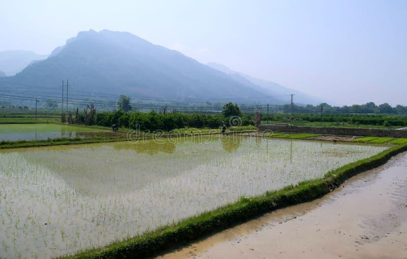 Um ricefield em China. fotos de stock royalty free