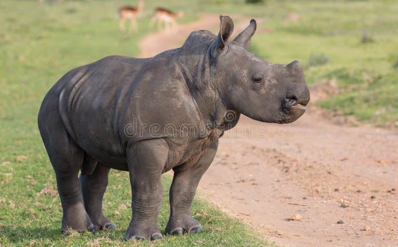 Um rinoceronte branco novo com cabeça guardou alto fotos de stock royalty free