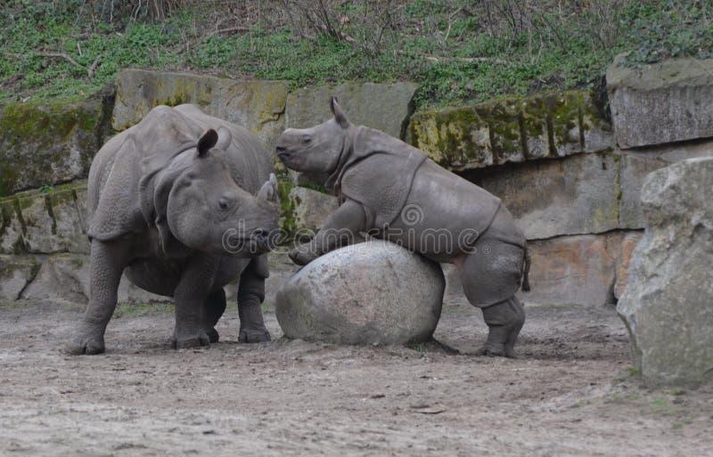Um rinoceronte do bebê tenta escalar uma rocha na frente da mãe foto de stock