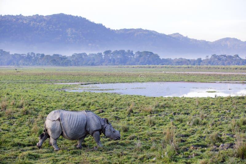 Um rinoceronte horned foto de stock