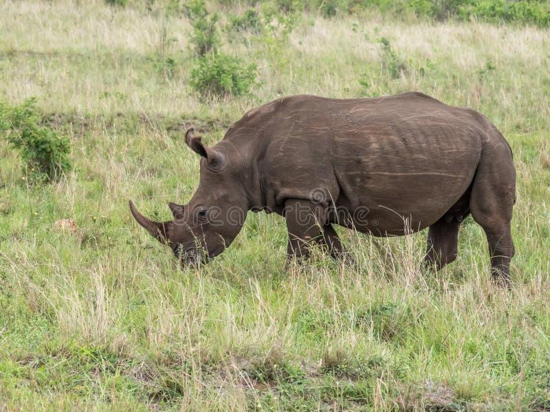 Um rinoceronte que pasta nas pastagem de África do Sul fotografia de stock royalty free