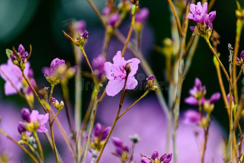 Um rododendro surpreendente da flor Fundo da natureza fotos de stock royalty free