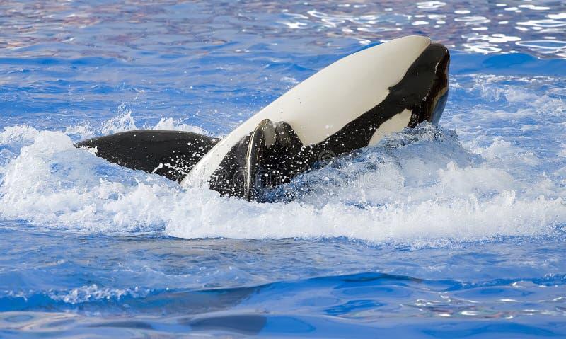 Um rolamento da baleia de assassino em sua parte traseira fotografia de stock
