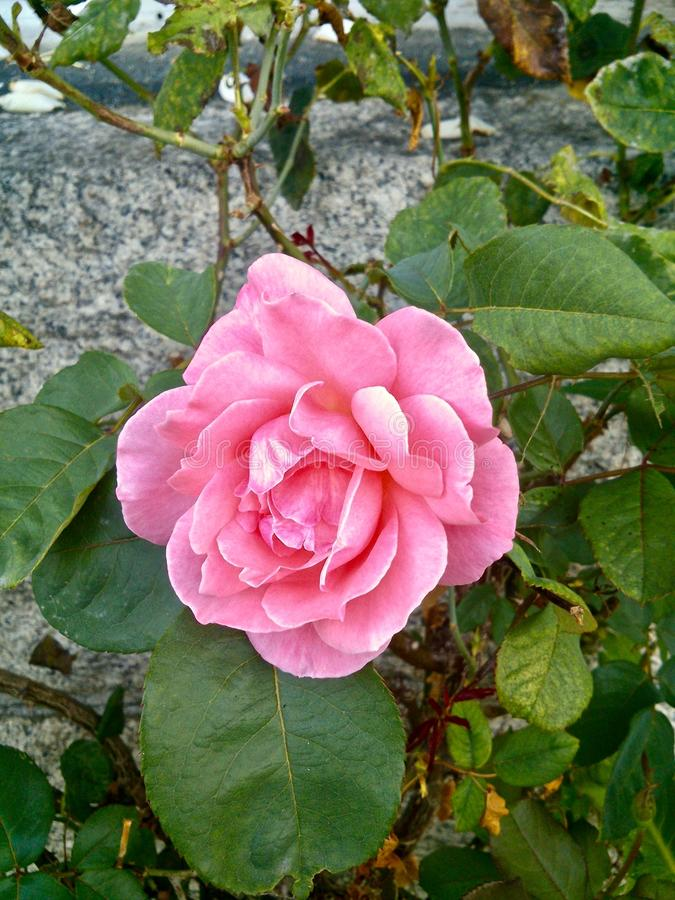 Um rosa solitário aumentou com uma parede das pedras atrás fotos de stock