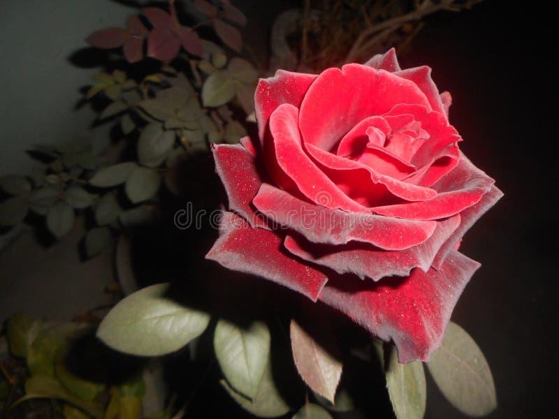 Um rose& x27; as vidas as mais raras da essência de s no espinho fotografia de stock