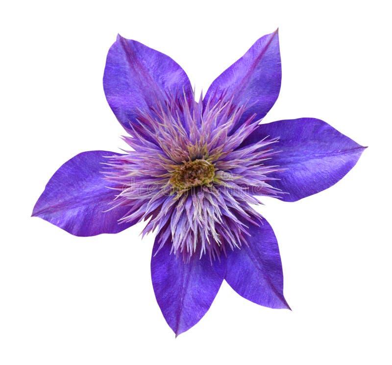 Um roxo da flor fotos de stock royalty free