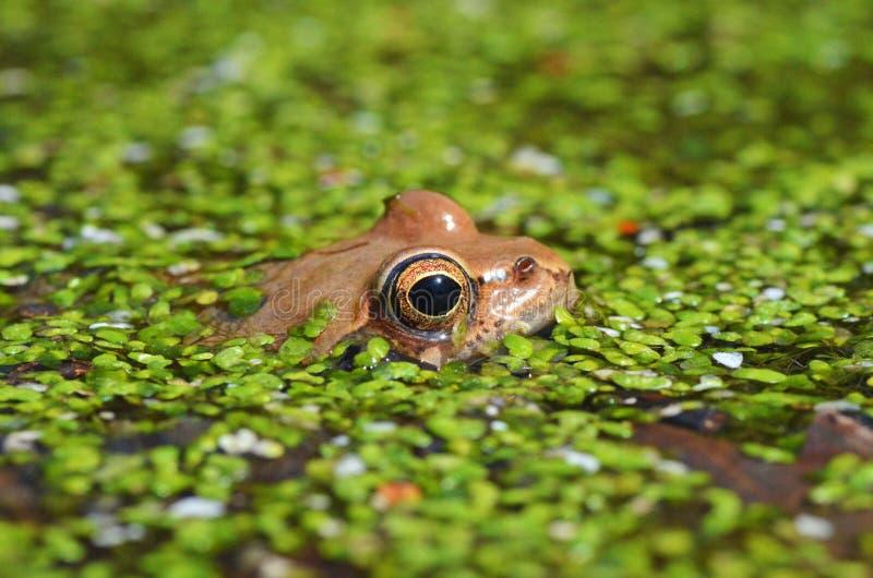 Um sapo se fecha num lago de floresta fotos de stock royalty free