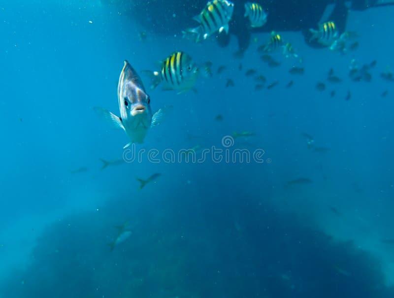 Um sargento Major Fish que seja curioso sobre a câmera fotos de stock royalty free