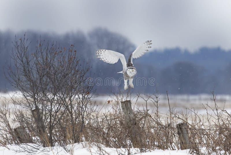 Um scandiacus nevado do bubão da coruja que descola para caçar sobre um campo nevado aberto imagem de stock royalty free