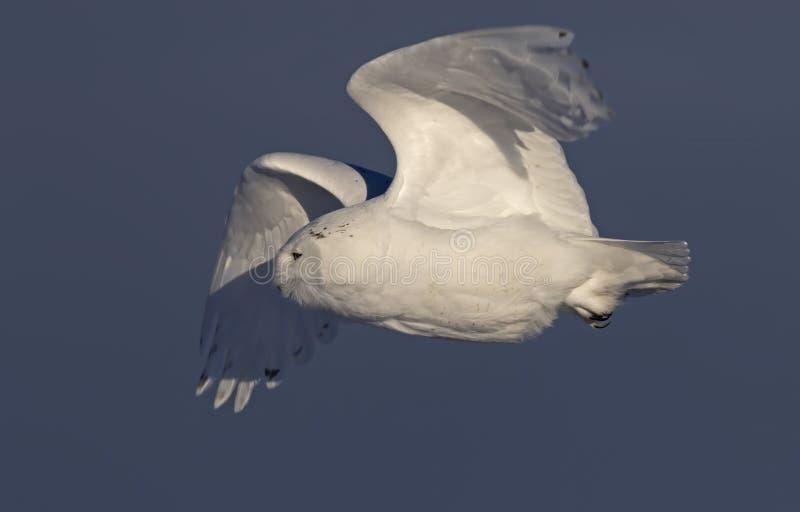 Um scandiacus nevado masculino do bubão da coruja contra um fundo azul que decola no inverno em Ottawa, Canadá fotografia de stock