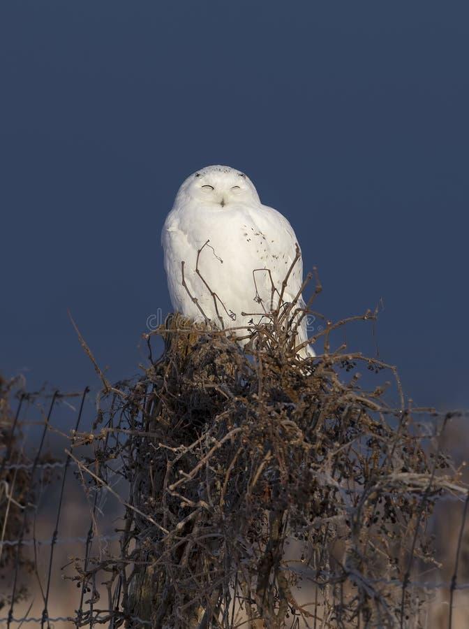 Um scandiacus nevado masculino do bubão da coruja empoleirado em um cargo de madeira no nascer do sol no inverno em Ottawa, Canad fotos de stock royalty free