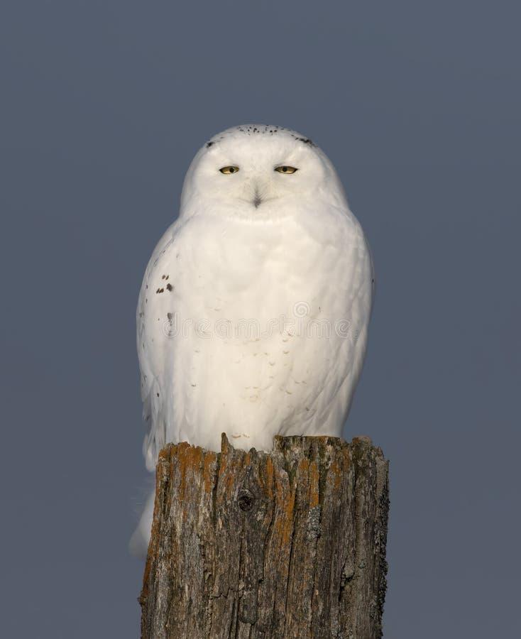 Um scandiacus nevado masculino do bubão da coruja isolado contra um fundo azul empoleirado em um cargo de madeira no inverno em O fotografia de stock