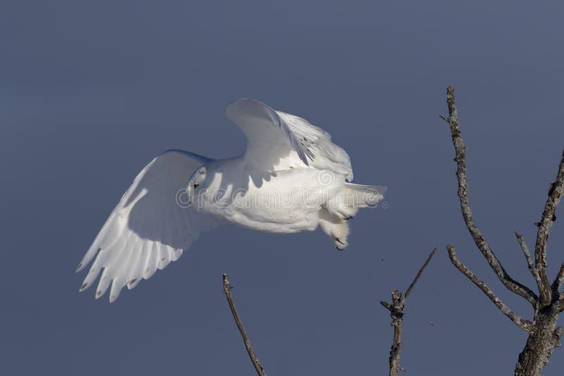 Um scandiacus nevado masculino do bubão da coruja isolado contra um fundo azul que decola no inverno em Ottawa, Canadá foto de stock