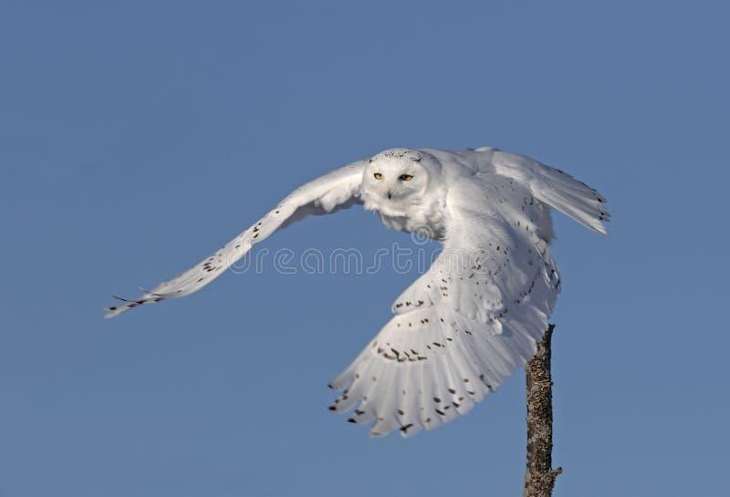 Um scandiacus nevado masculino do bubão da coruja isolado contra um fundo azul que voa fora no inverno em Ottawa, Canadá fotos de stock royalty free