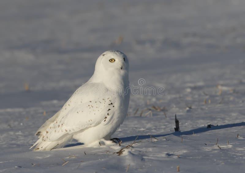 Um scandiacus nevado masculino do bubão da coruja que senta-se em um campo de milho coberto de neve ensolarado no inverno em Otta fotografia de stock royalty free