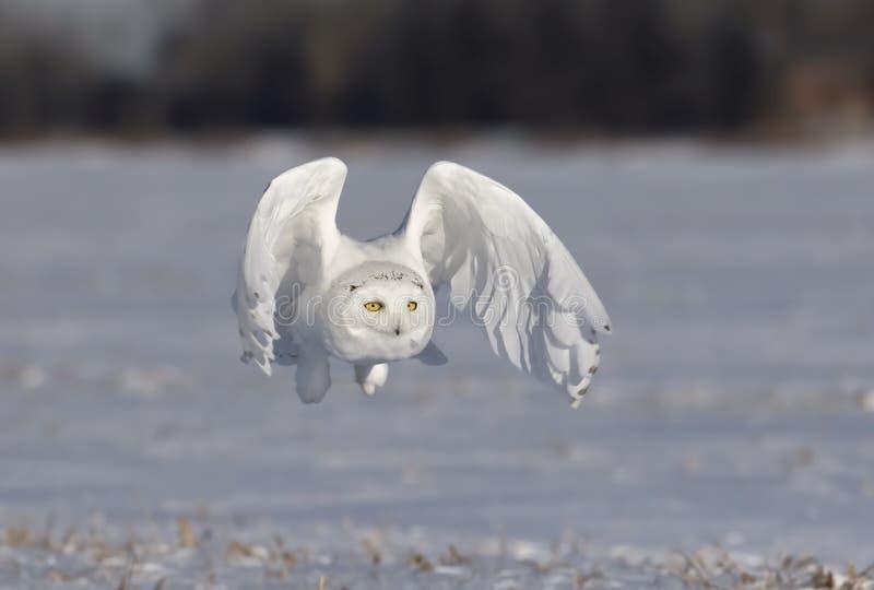 Um scandiacus nevado masculino do bubão da coruja voa a baixa caça sobre um campo de milho nevado ensolarado aberto em Ottawa, Ca imagens de stock