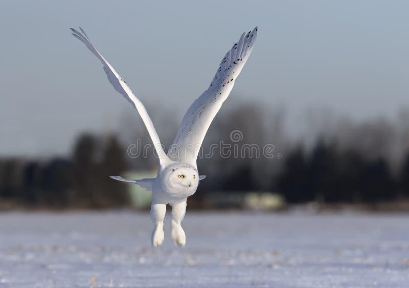 Um scandiacus nevado masculino do bubão da coruja voa a baixa caça sobre um campo de milho nevado ensolarado aberto em Ottawa, Ca foto de stock royalty free