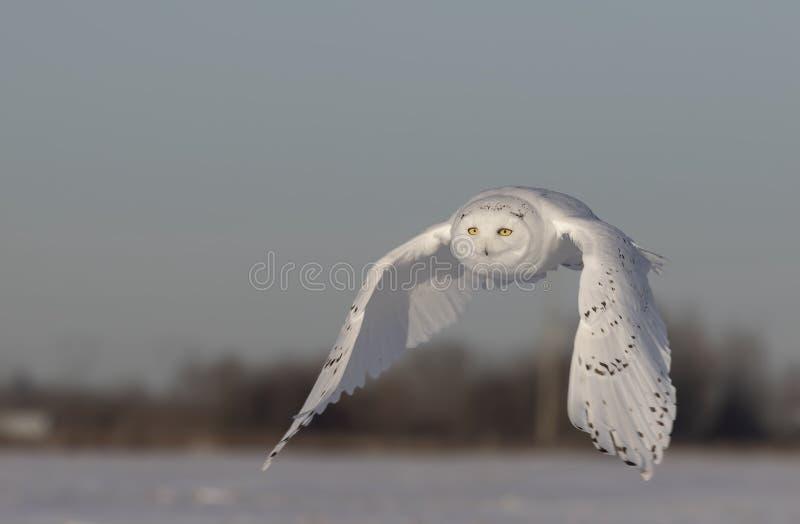 Um scandiacus nevado masculino do bubão da coruja voa a baixa caça sobre um campo de milho nevado ensolarado aberto em Ottawa, Ca fotos de stock royalty free