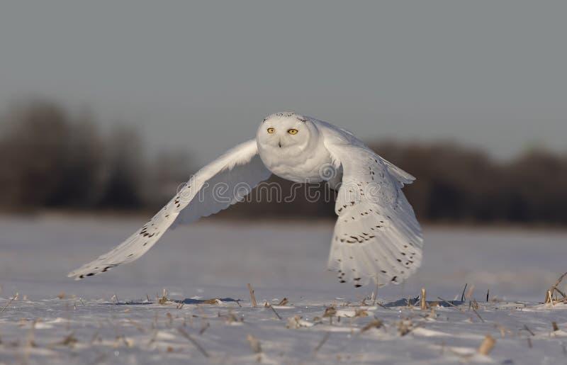 Um scandiacus nevado masculino do bubão da coruja voa a baixa caça sobre um campo de milho nevado ensolarado aberto em Ottawa, Ca foto de stock